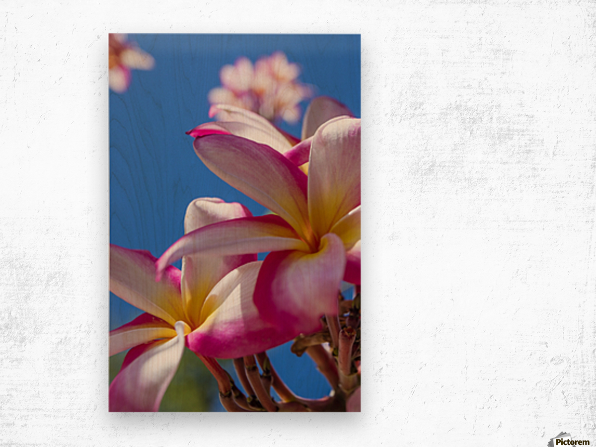 Close-up of pink plumeria flowers and blue sky; Lanai, Hawaii, United States of America Wood print