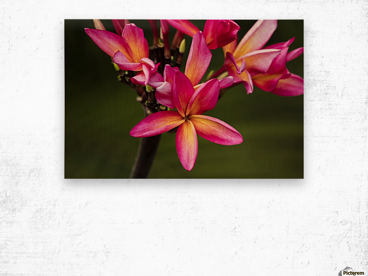Close-up of bright pink plumeria flowers; Maui, Hawaii, United States of America Wood print