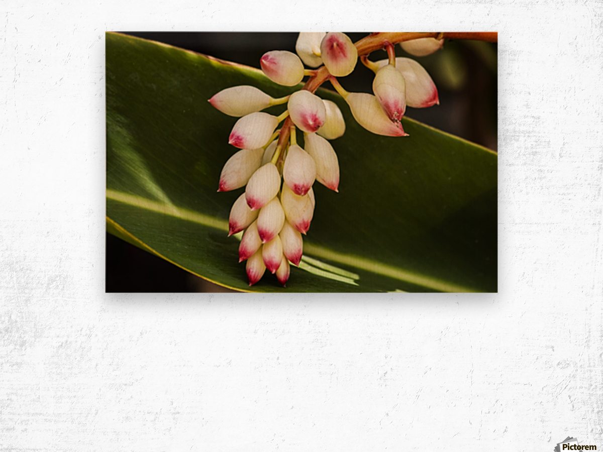 Close-up of white ginger flower Alpinia; Maui, Hawaii, United States of America Wood print