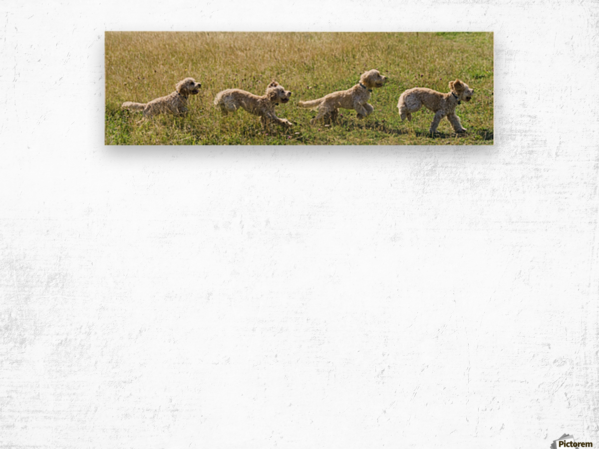 Composite of a blond cockapoo running across a grass field; South Shields, Tyne and Wear, England Wood print