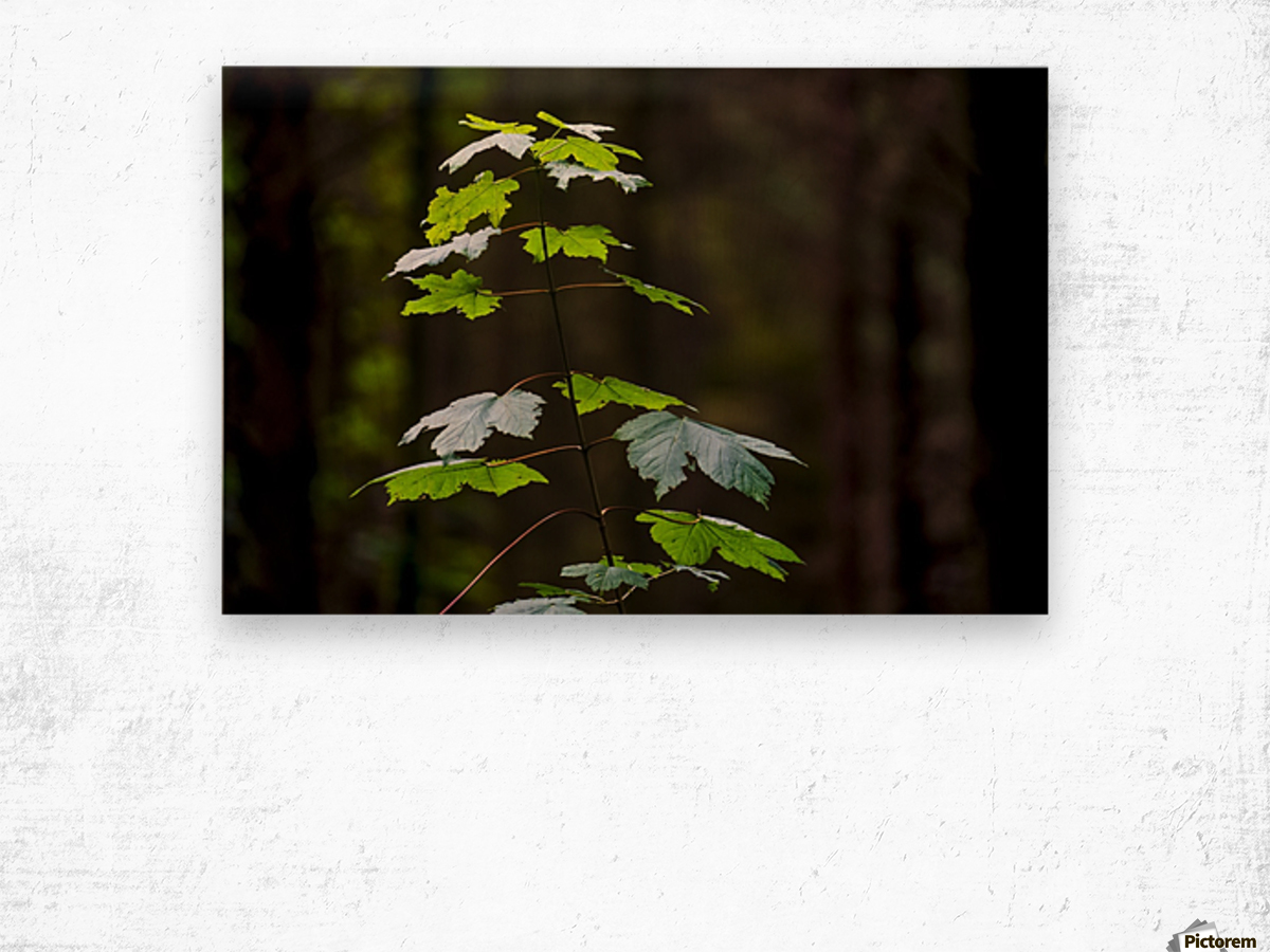 A new green plant grows up towards the sunlight; North Yorkshire, England Wood print