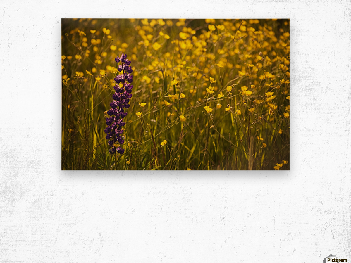 Garden lupin (Lupinus polyphyllus) and buttercups (Ranunculus) in a field at sunset; Fall River, Nova Scotia, Canada Wood print