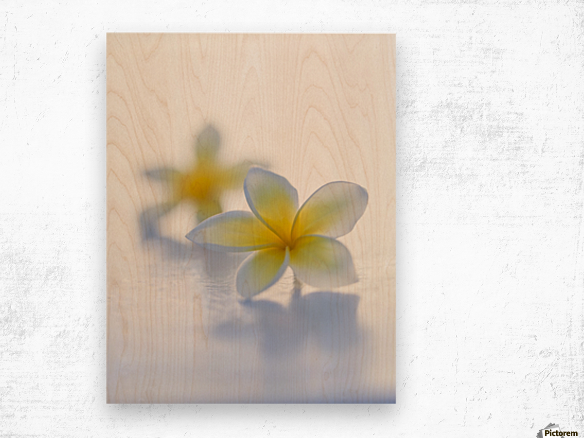 Close-up of two beautiful yellow Plumeria flowers (Apocynaceae) in soft focus; Honolulu, Oahu, Hawaii, United States of America Wood print