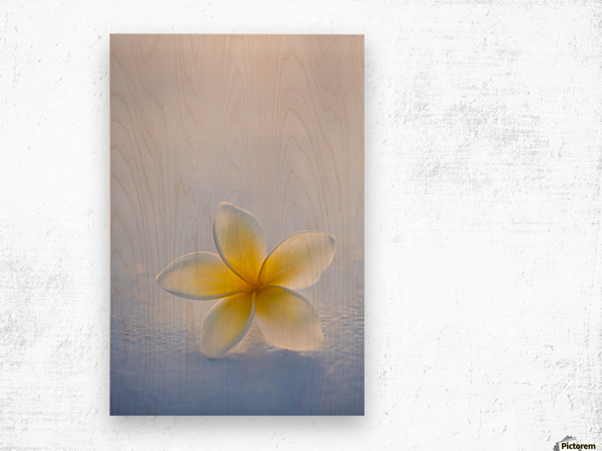 Close-up of a single beautiful yellow Plumeria flower (Apocynaceae) in soft focus; Honolulu, Oahu, Hawaii, United States of America Wood print