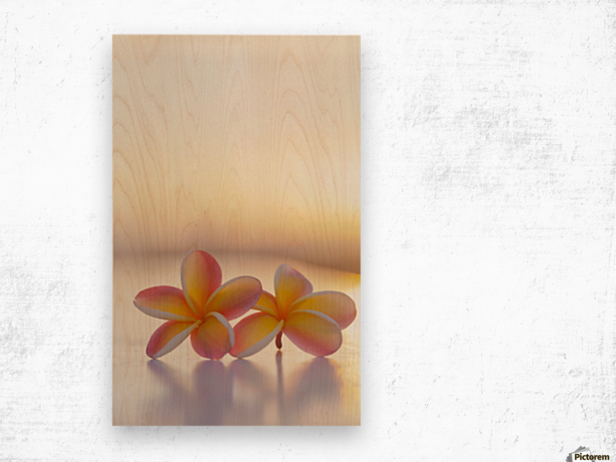 Close-up of a pair of beautiful yellow and pink Plumeria flowers (Apocynaceae) with sunset lighting the background; Honolulu, Oahu, Hawaii, United States of America Wood print