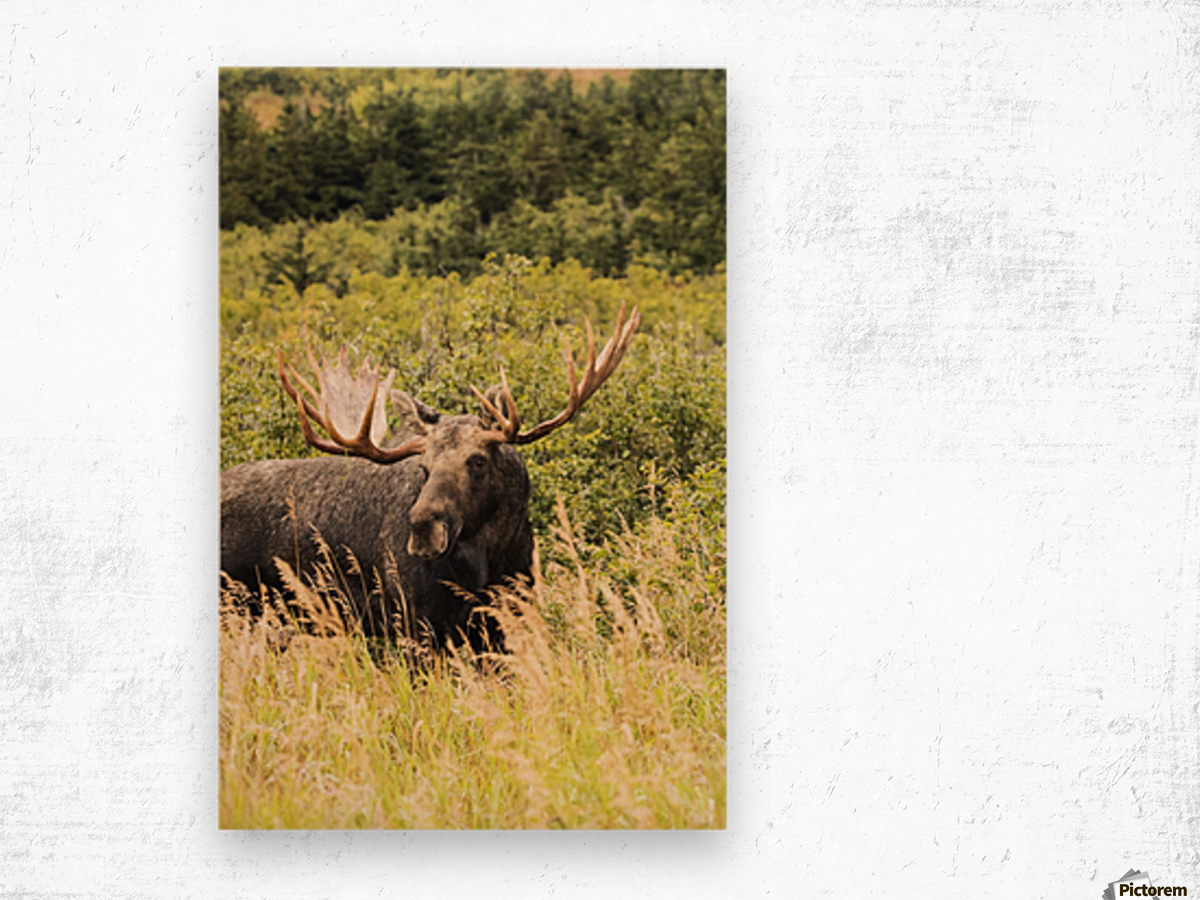 Bull moose (alces alces) in the rutting period, Powerline Pass, South-central Alaska; Anchorage, Alaska, United States of America Wood print