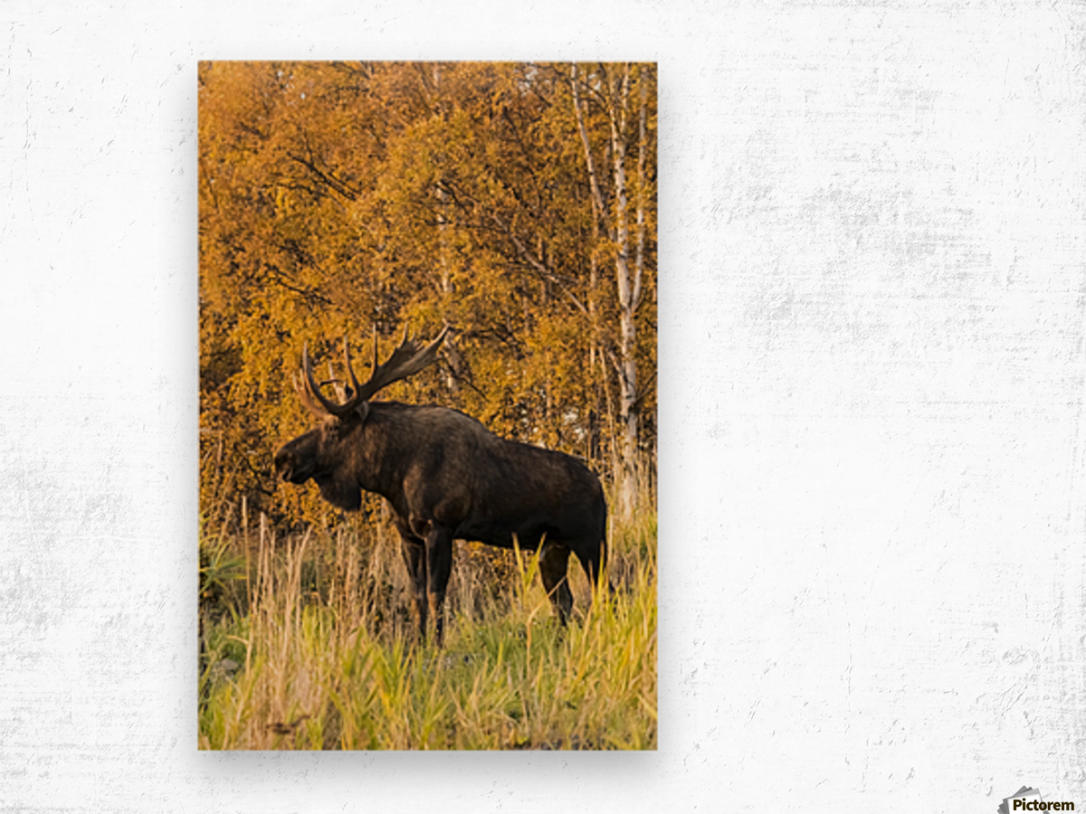 Bull moose (alces alces) with antlers, South-central Alaska; Anchorage, Alaska, United States of America Wood print