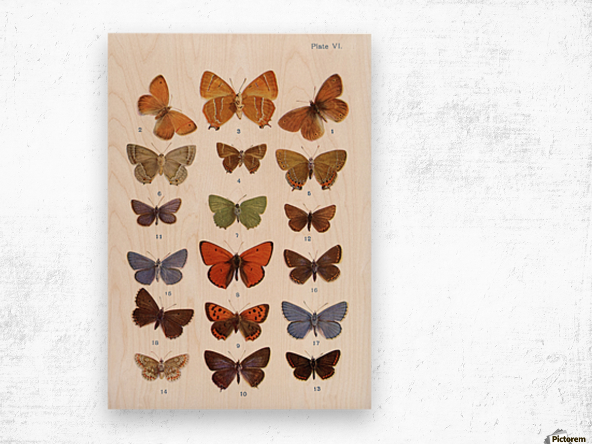 Different types of butterflies. Illustration by W.S.Furneaux. From the book Butterflies, Moths and Other Insects and Creatures of the Countryside. Published 1927. Wood print