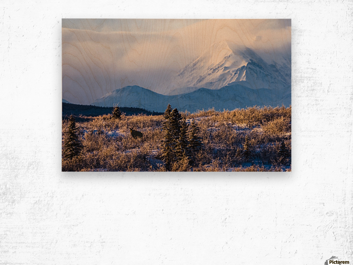 A moose (alces alces) forages on a winter morning with the Alaska Range in the background partially enshrouded in clouds; Alaska, United States of America Wood print
