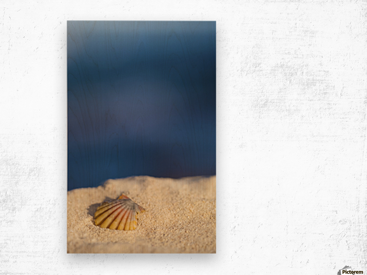 A rare rainbow color Hawaiian Sunrise Scallop Seashell, also known as Pecten Langfordi, in the sand at the beach at sunrise; Honolulu, Oahu Hawaii, United States of America Wood print