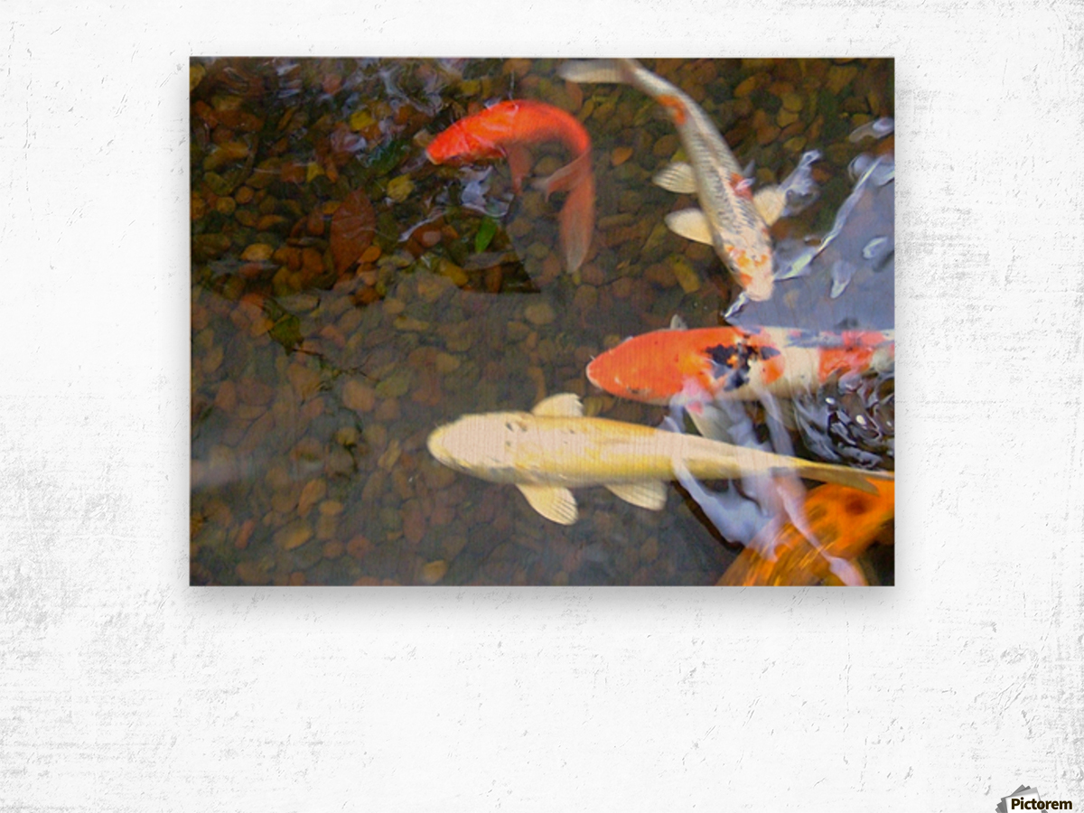 Koi Fish In Home Pond  Wood print