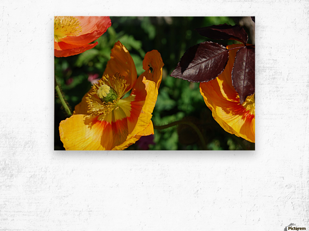 Yellow Poppies Growing in a Garden Wood print