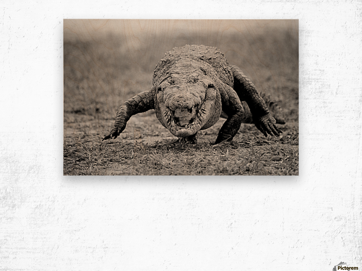 Crocodile Ghana Wood print