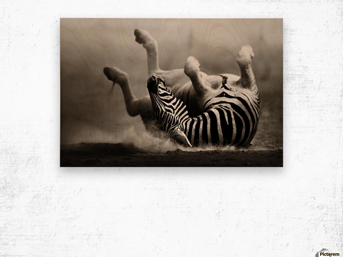 Zebra rolling in the dust Wood print