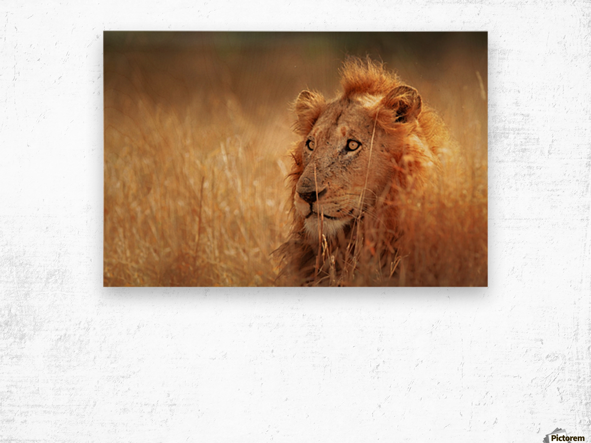 Lion in grassland Wood print