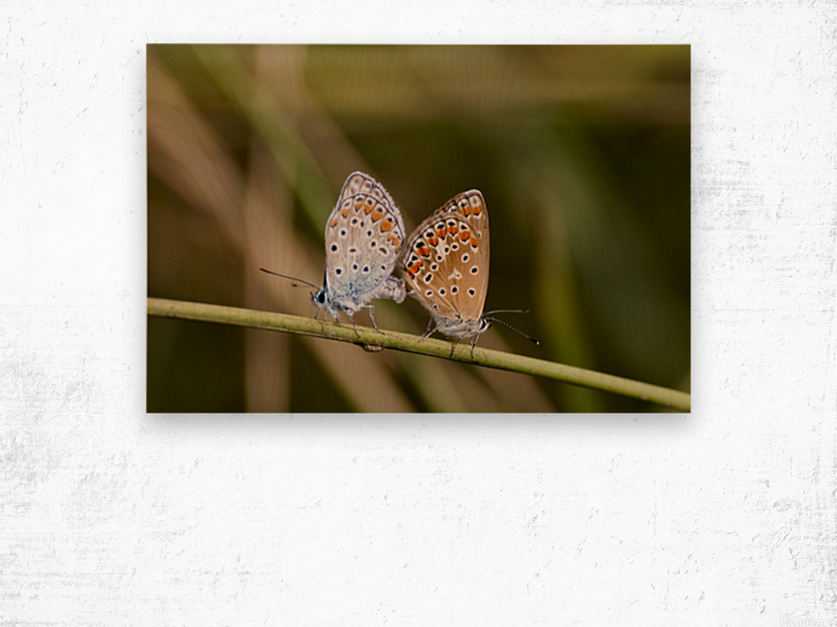 Coupling of common blue Wood print