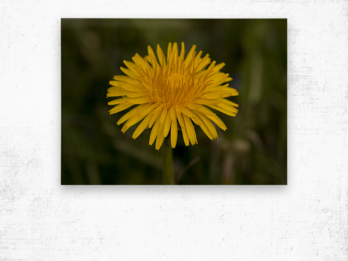 Dandelion macro Wood print