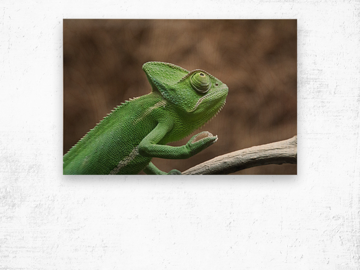 Funny pose of a chameleon Wood print