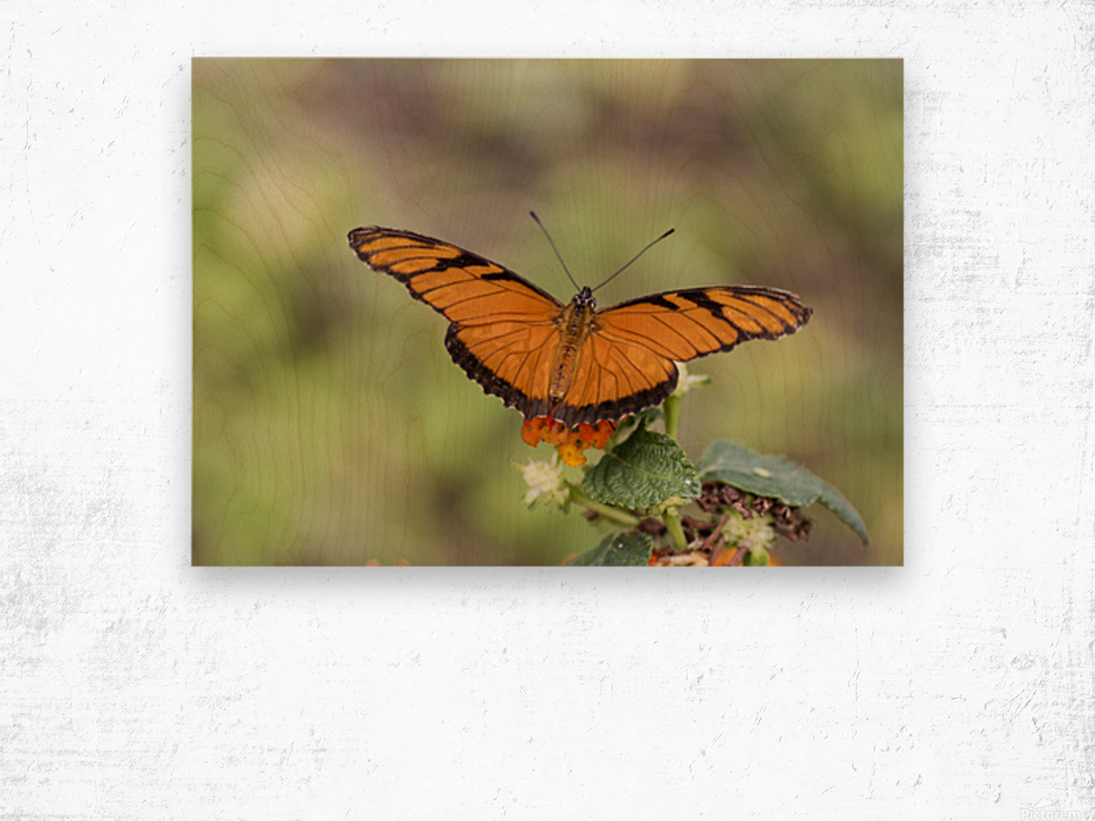 Julia heliconian butterfly Wood print