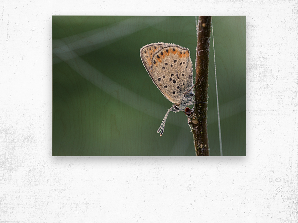 Lycaena tytirus butterfly Wood print