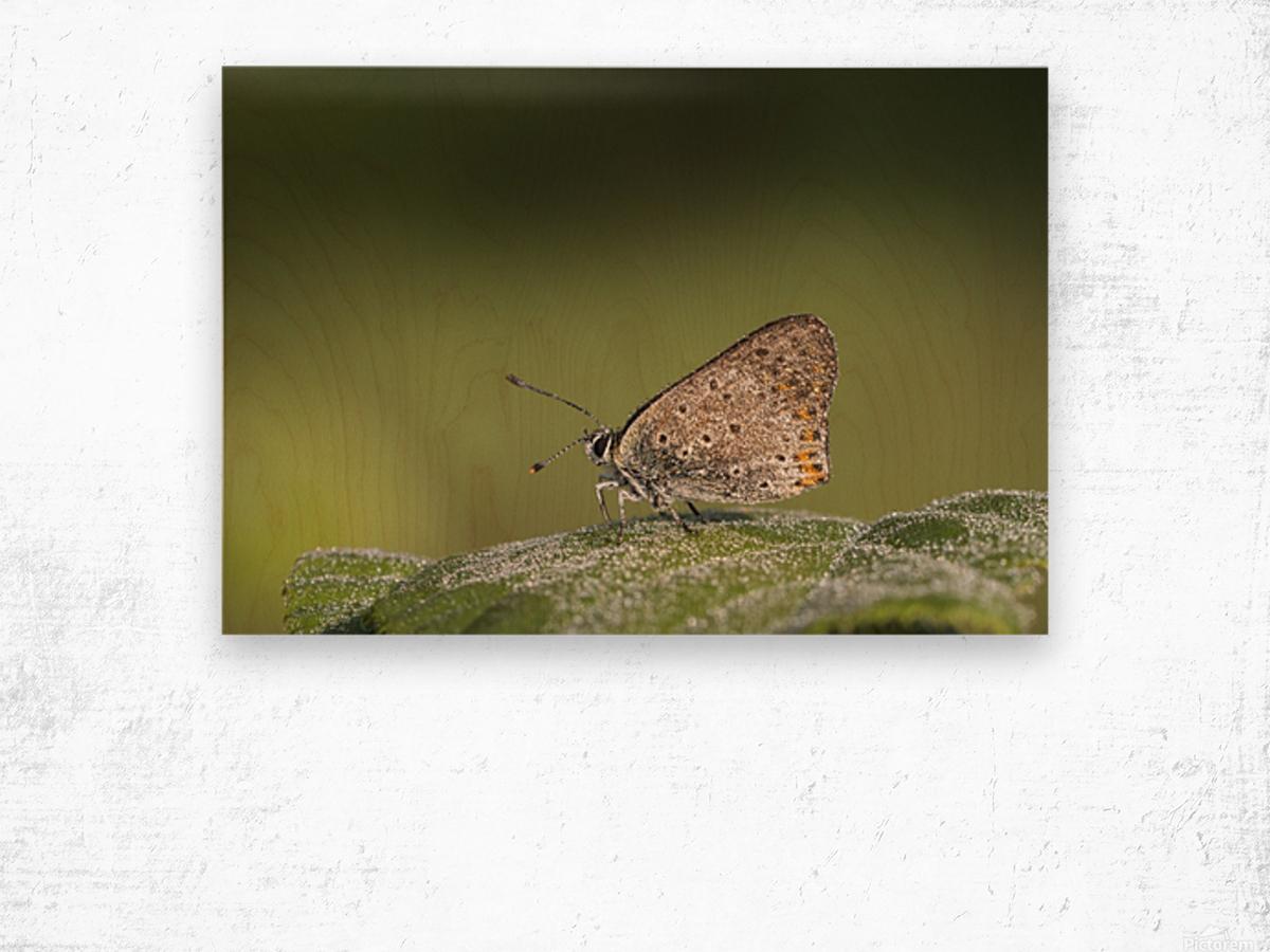 Lycaena tytirus butterfly Wood print