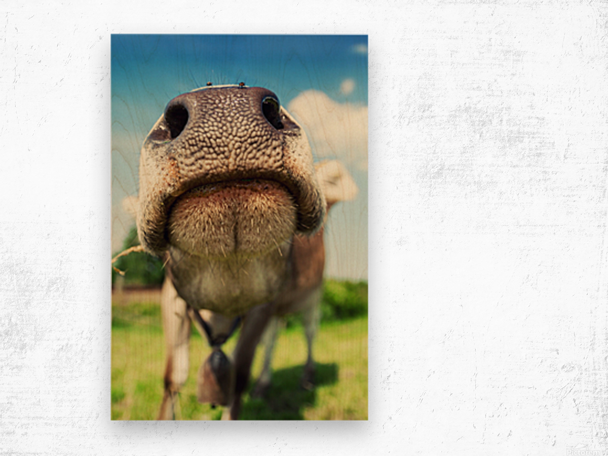 funny nose of a curious cow Wood print