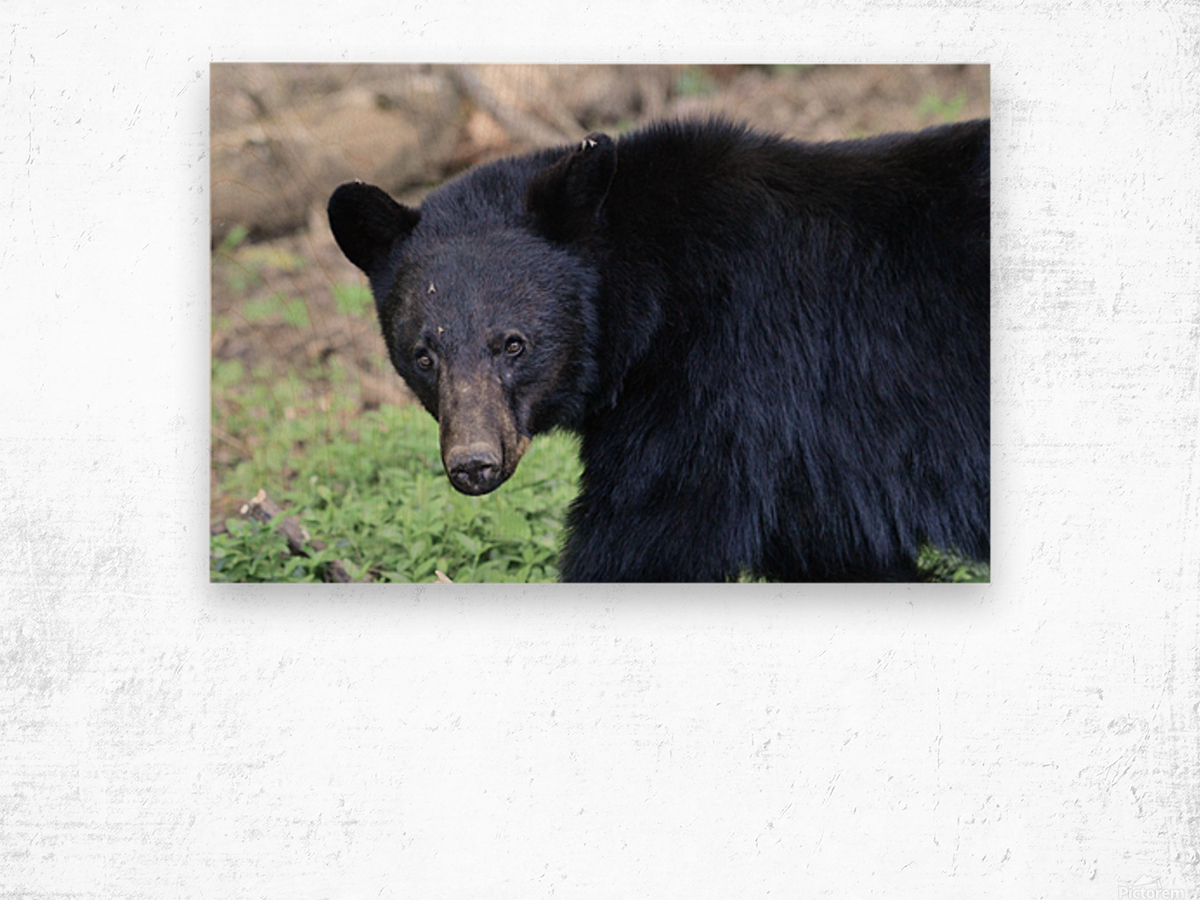 2350- black bear Wood print