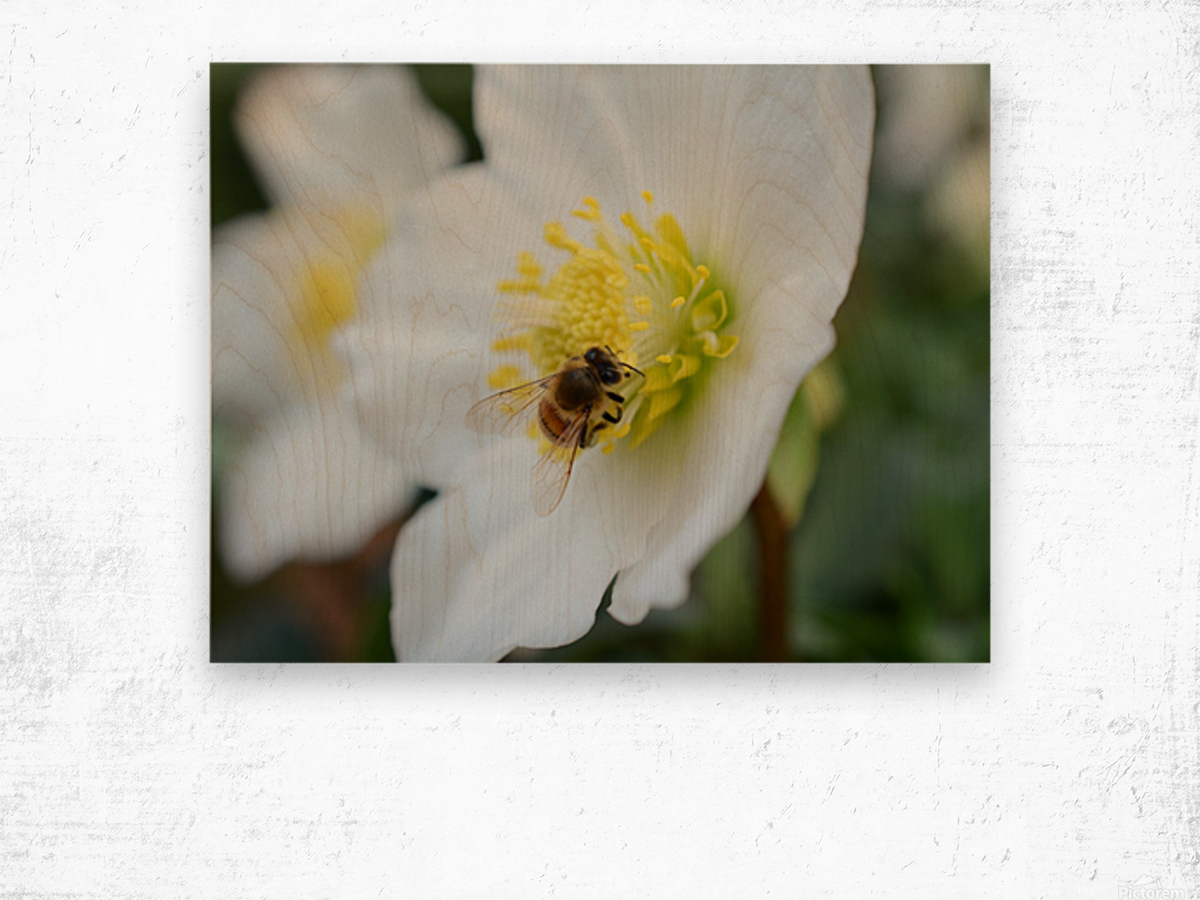 Bee On White Flower Photograph Wood print