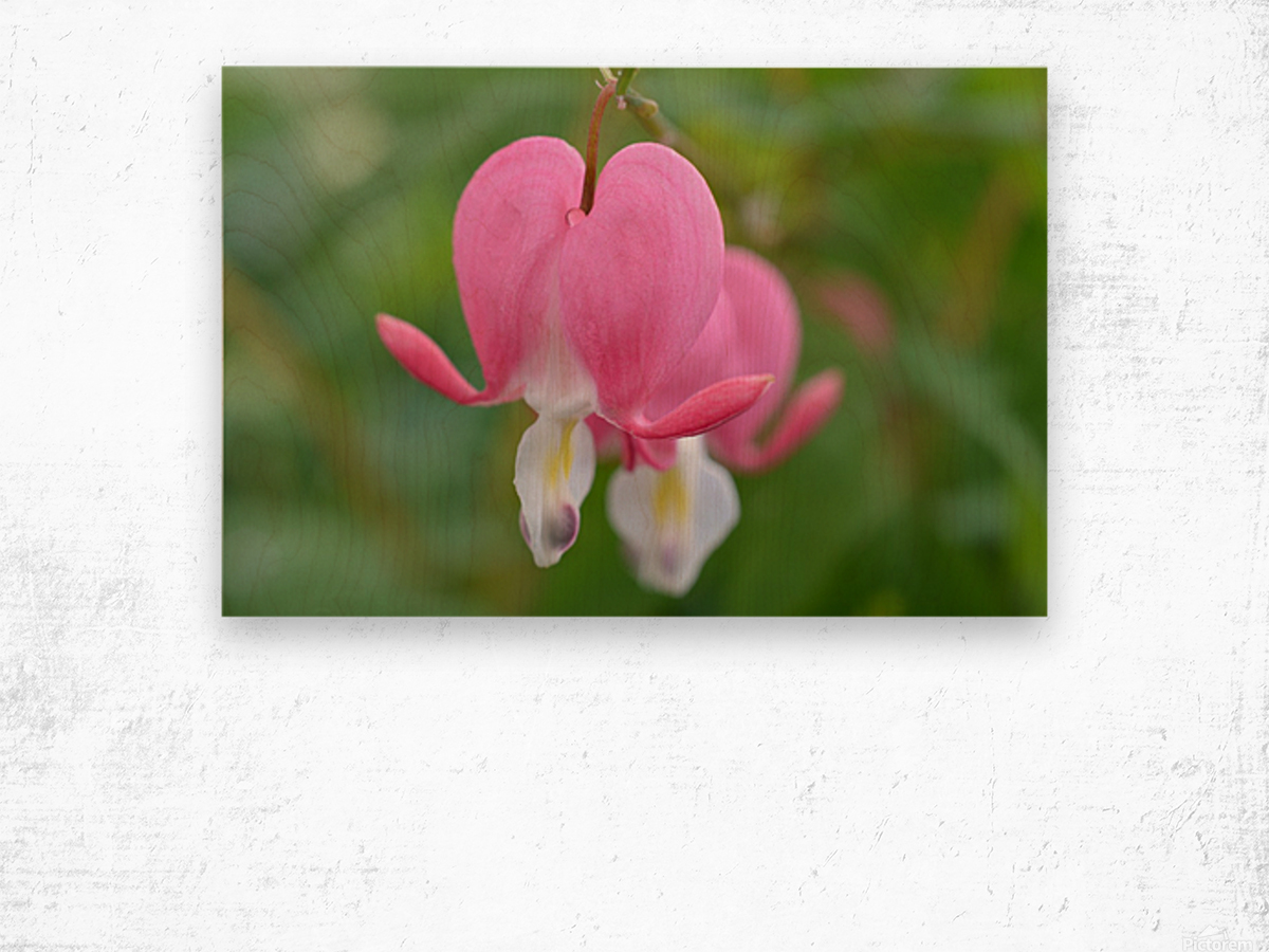Bleeding Heart Flower Photograph Wood print