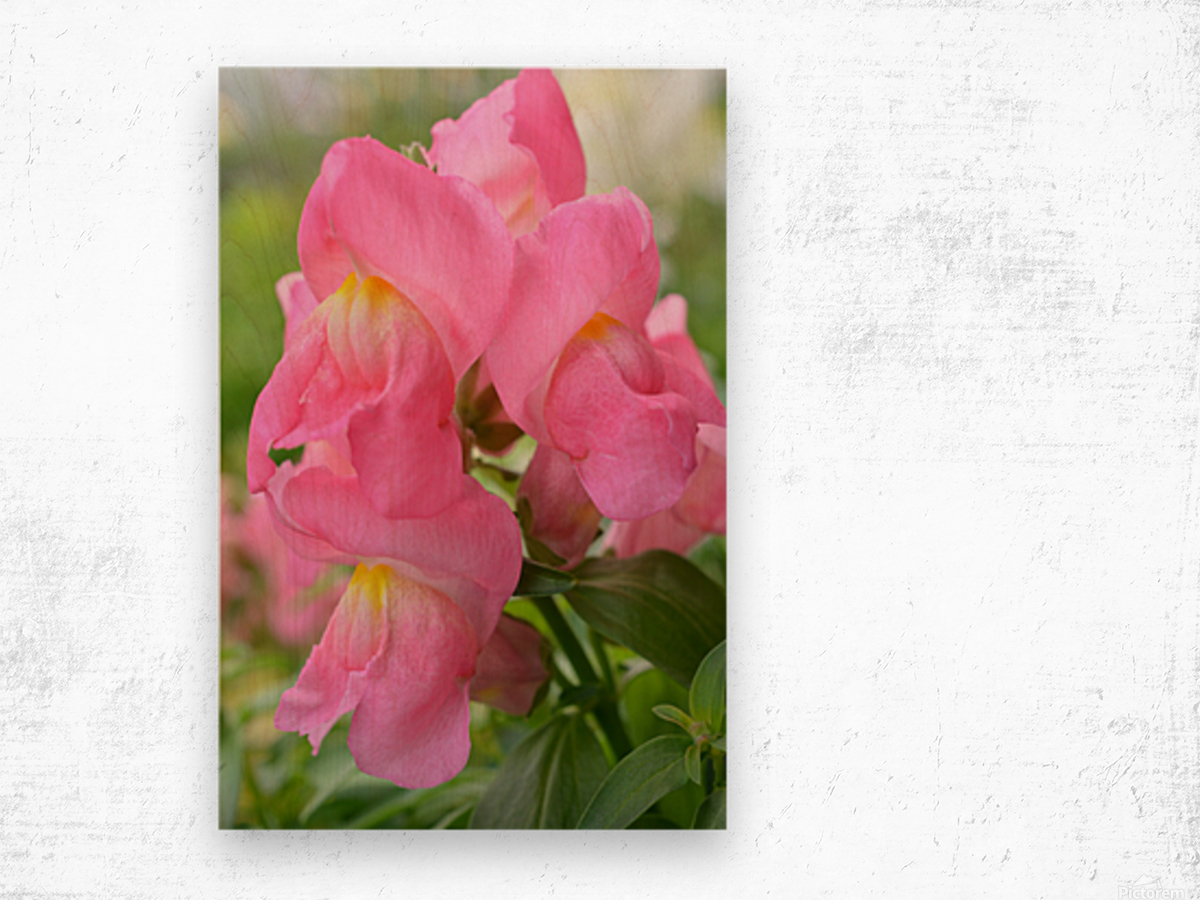 Pink Snapdragon Photograph  Wood print
