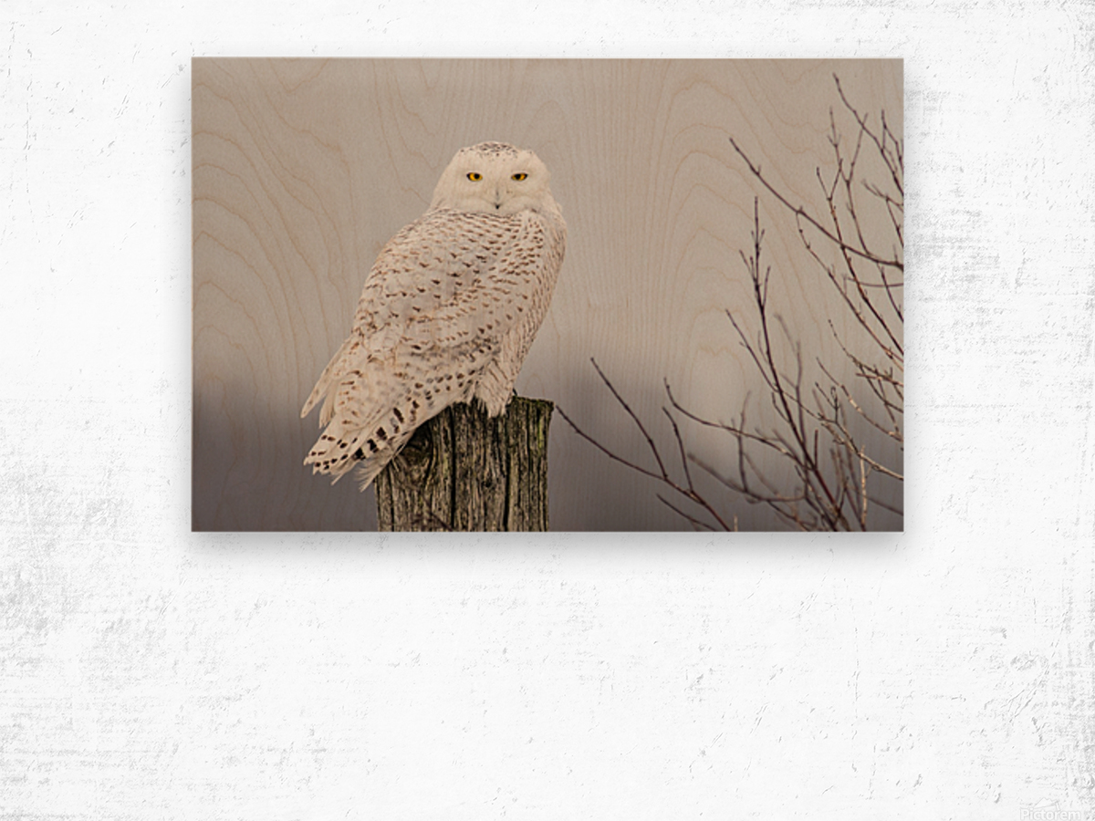Snowy Owl on the Fence Wood print