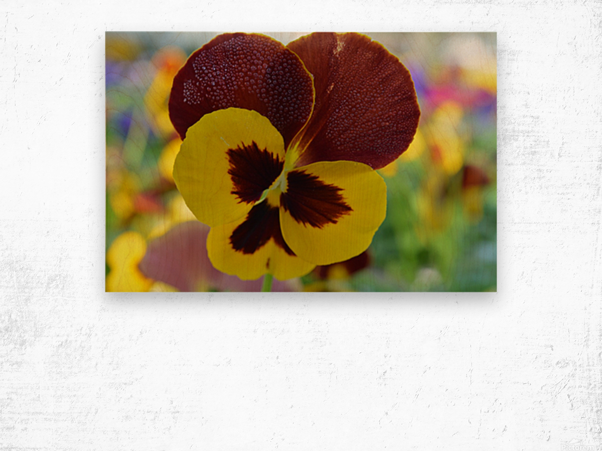 Yellow Pansy Covered In Due Drops Wood print