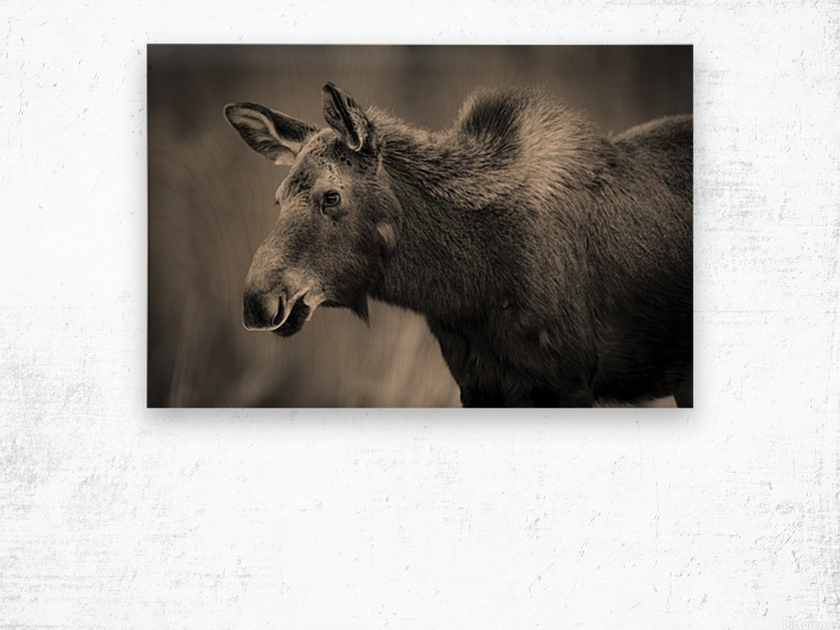 Young Moose Wood print