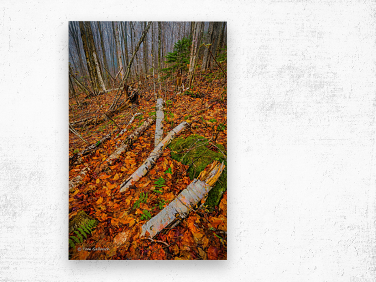 White Birch - APC-261 Wood print