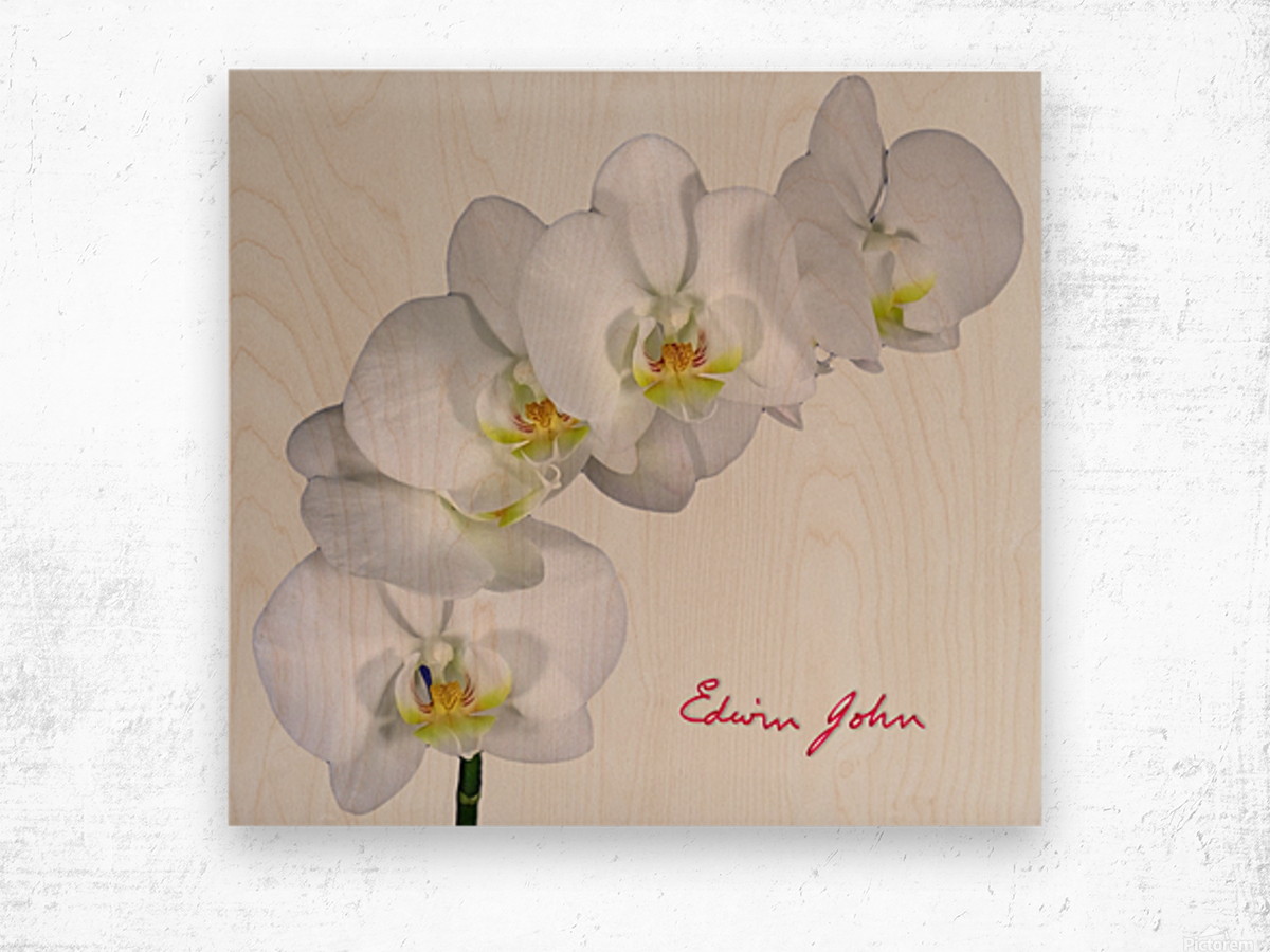 Moth Orchid White Flowers Spray Edwin John Canvas