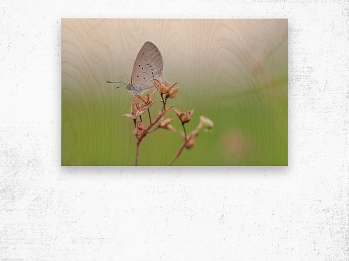 Gray butterfly perching on dried grass Wood print