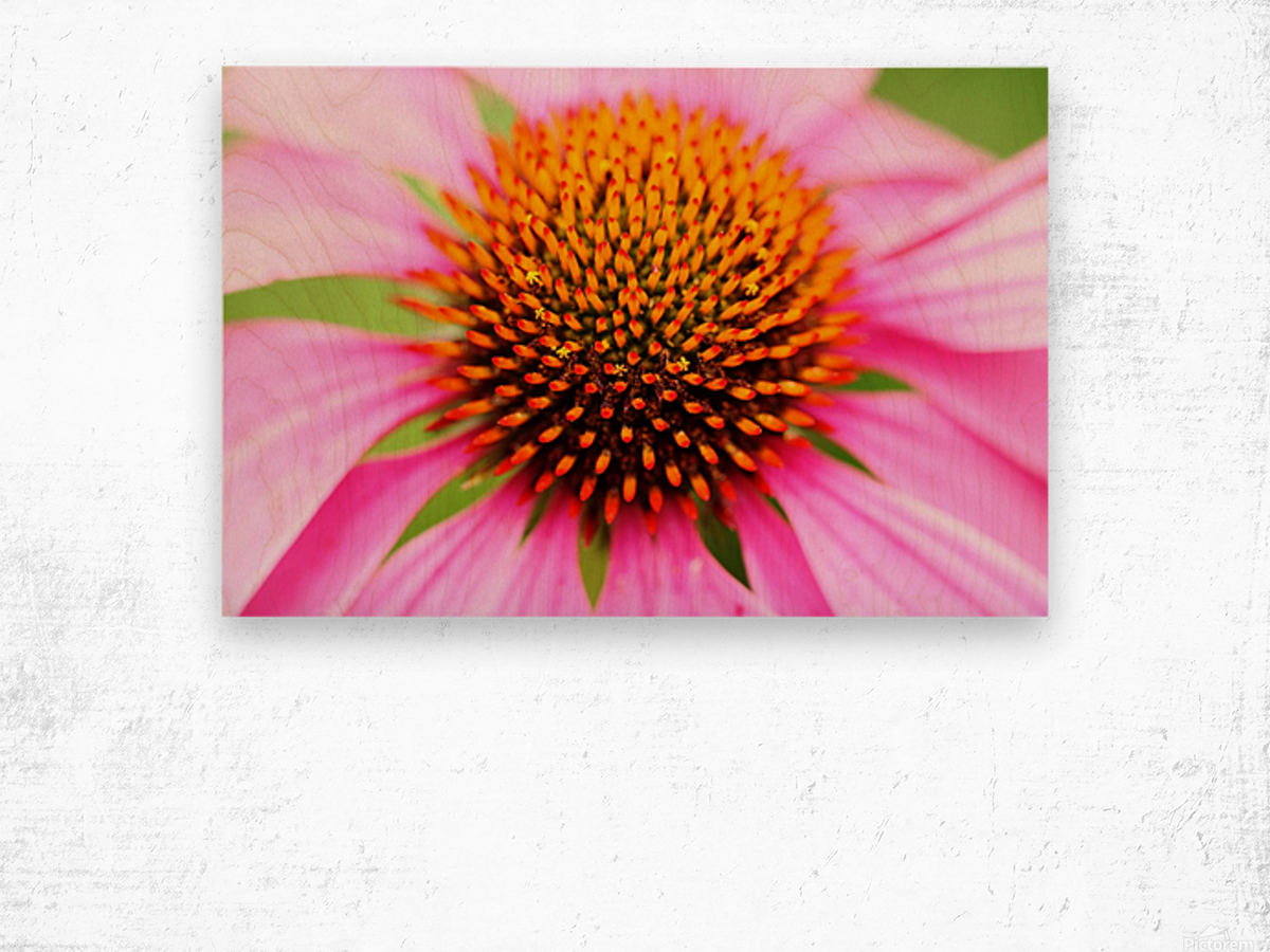 Hedgehog Coneflower Wood print