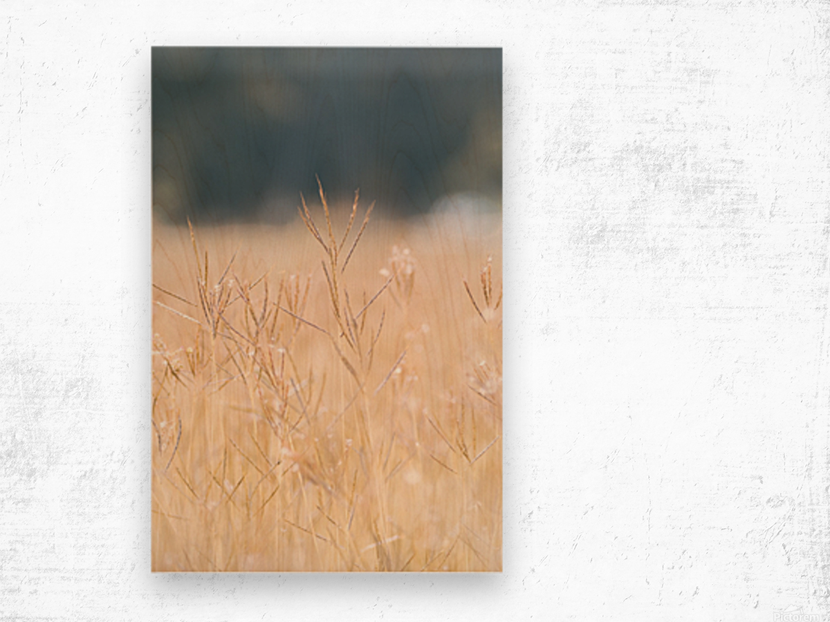 Died grass in field Wood print