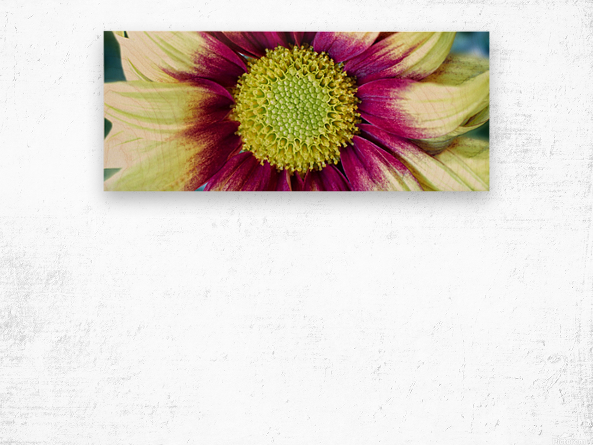 Chrysanthemum Daisy Wood print