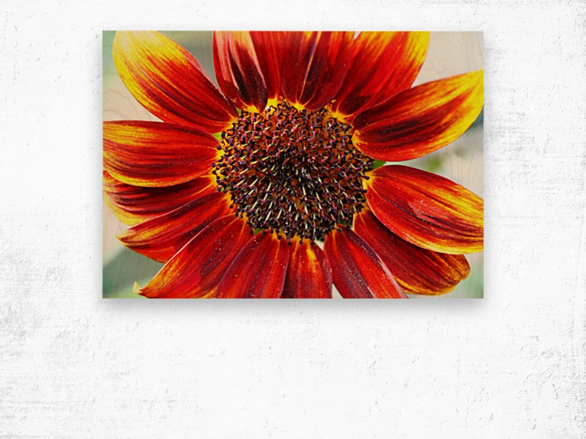 Autumn Sunflower Wood print