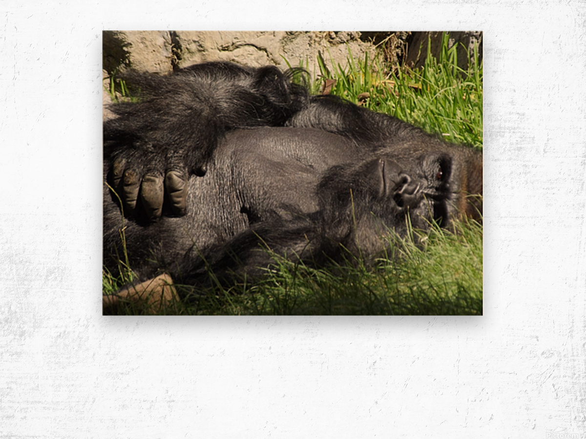 Gorilla Glare Wood print