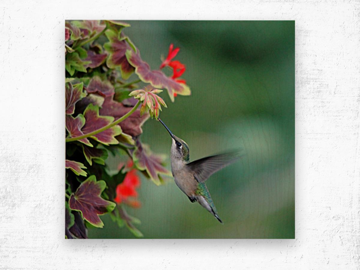 Hummingbird Loving The Orange Geranium Wood print