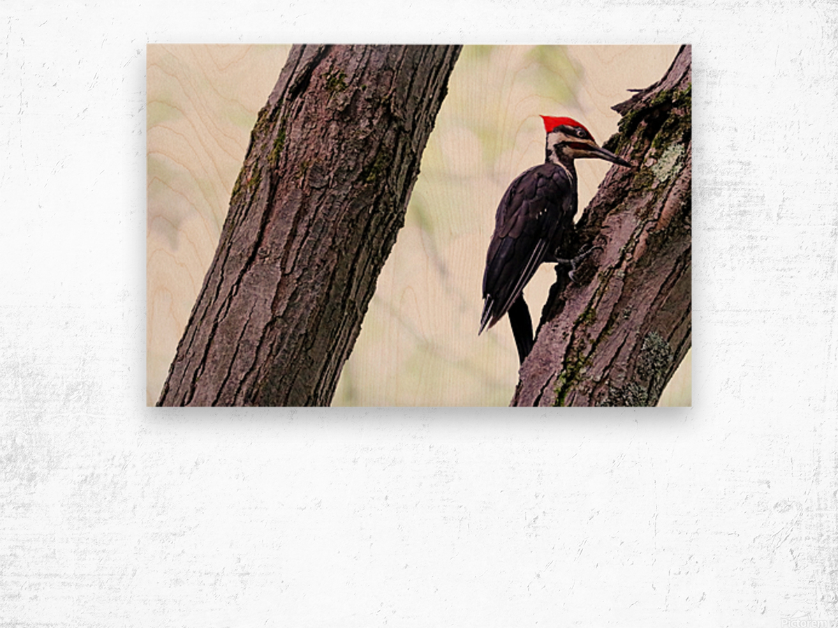 Pileated Woodpecker Checking The Cracks Wood print