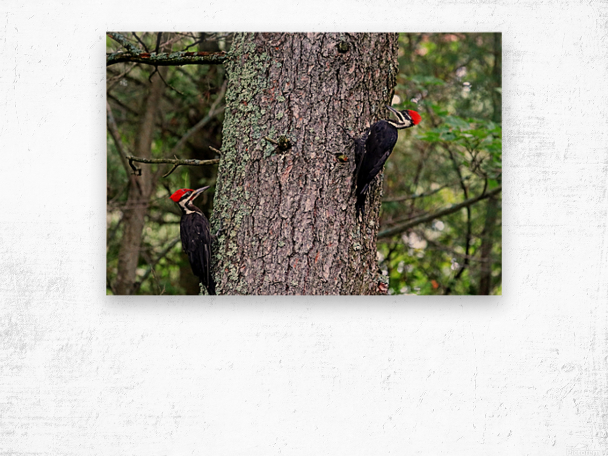 Male And Female Pileated Woodpeckers Wood print