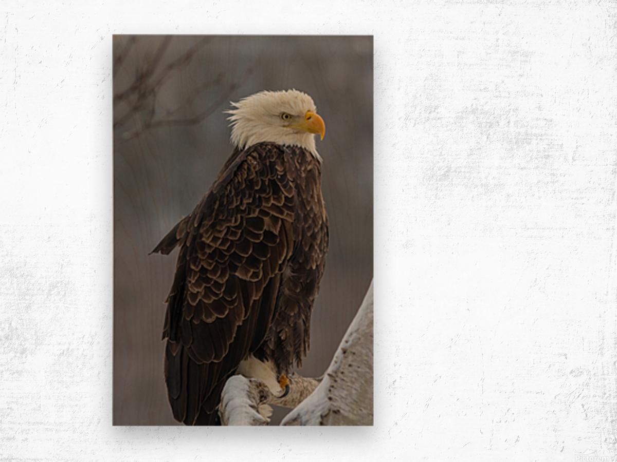Bald eagle in tree Wood print
