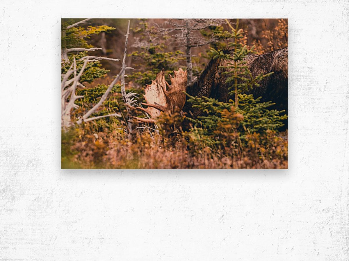 Bull Moose Wood print