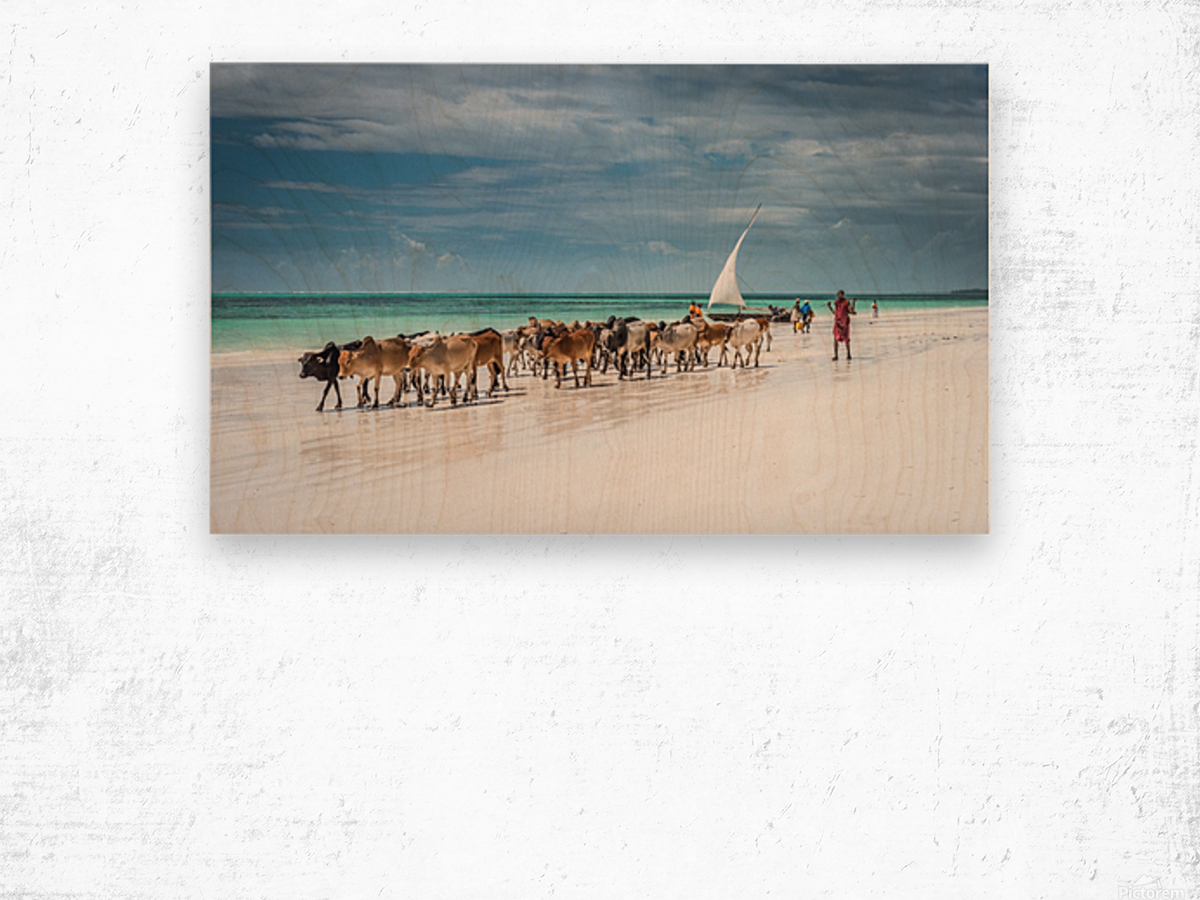 Masai cattle on Zanzibar beach Wood print