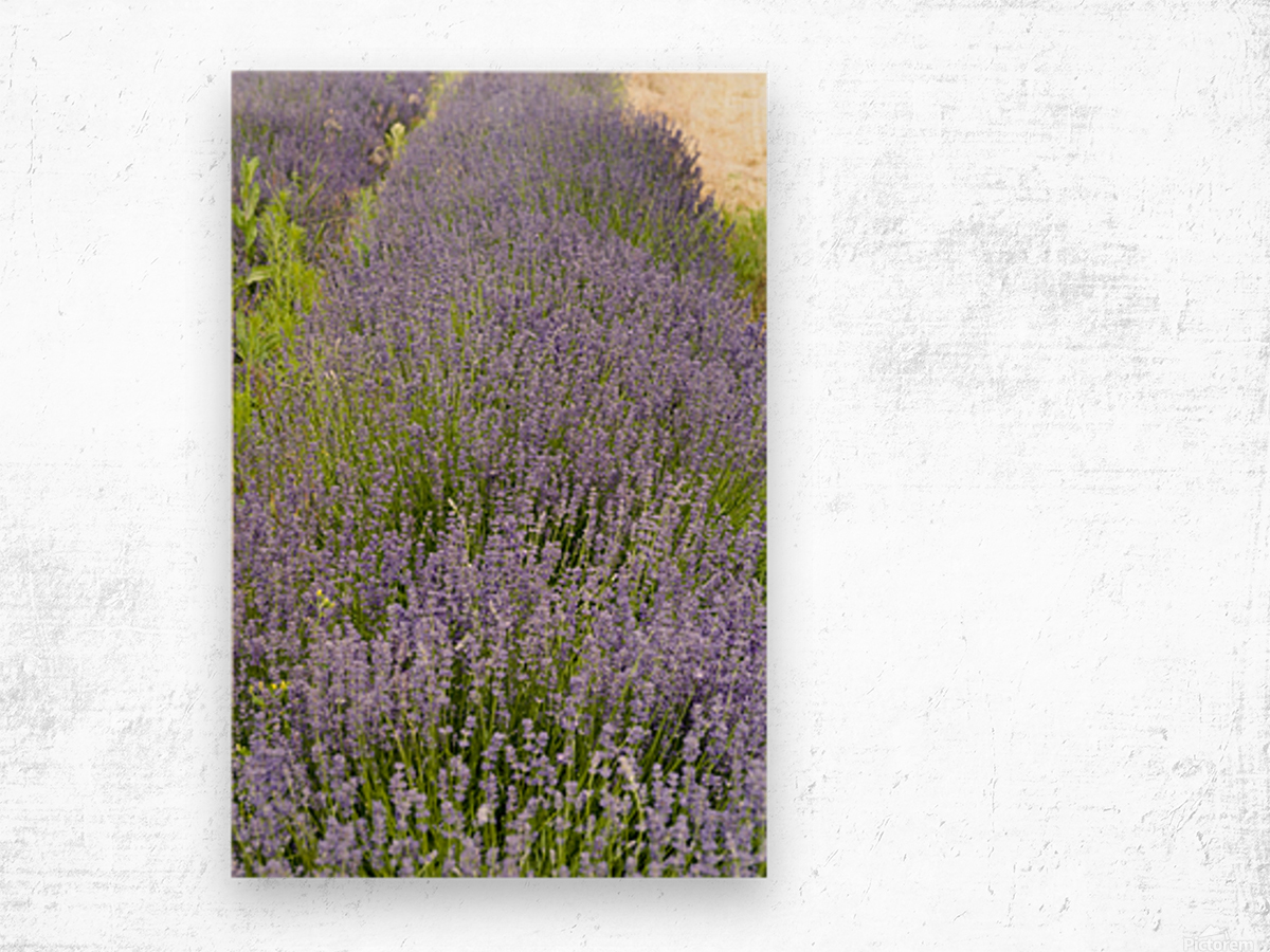 Lavender plants 7 Wood print