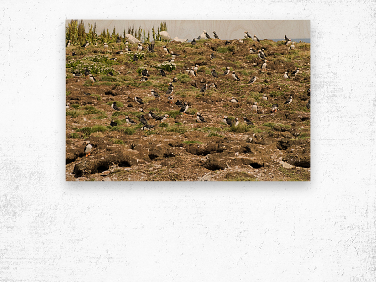 Puffins being puffins Wood print