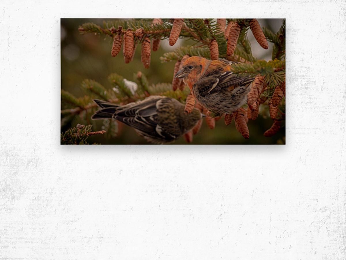 Pair of White-winged Crosbills Wood print